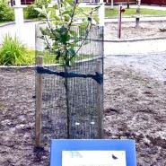 (FOTO: Alexander Richter) Als Zeichen der Städtefreundschaft schenkte Alexander Richter gemeinsam mit dem Oberbürgermeister der Stadt Potsdam, Mike Schubert, der Partnerstadt Jyväskylä einen  Apfelbaum.