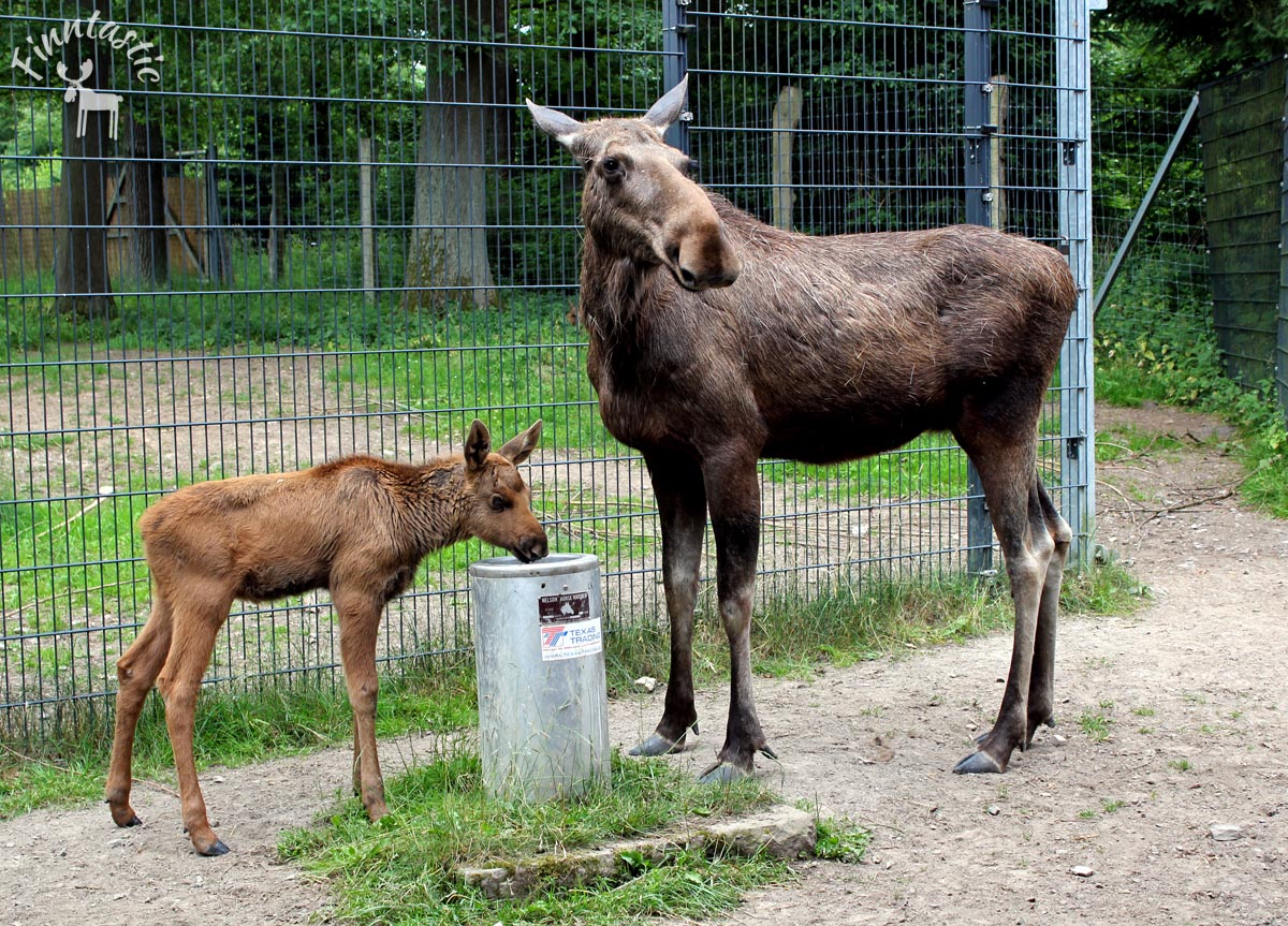 (FOTO: Finntastic) Elchkuh Lotte mit Kälbchen  Ede