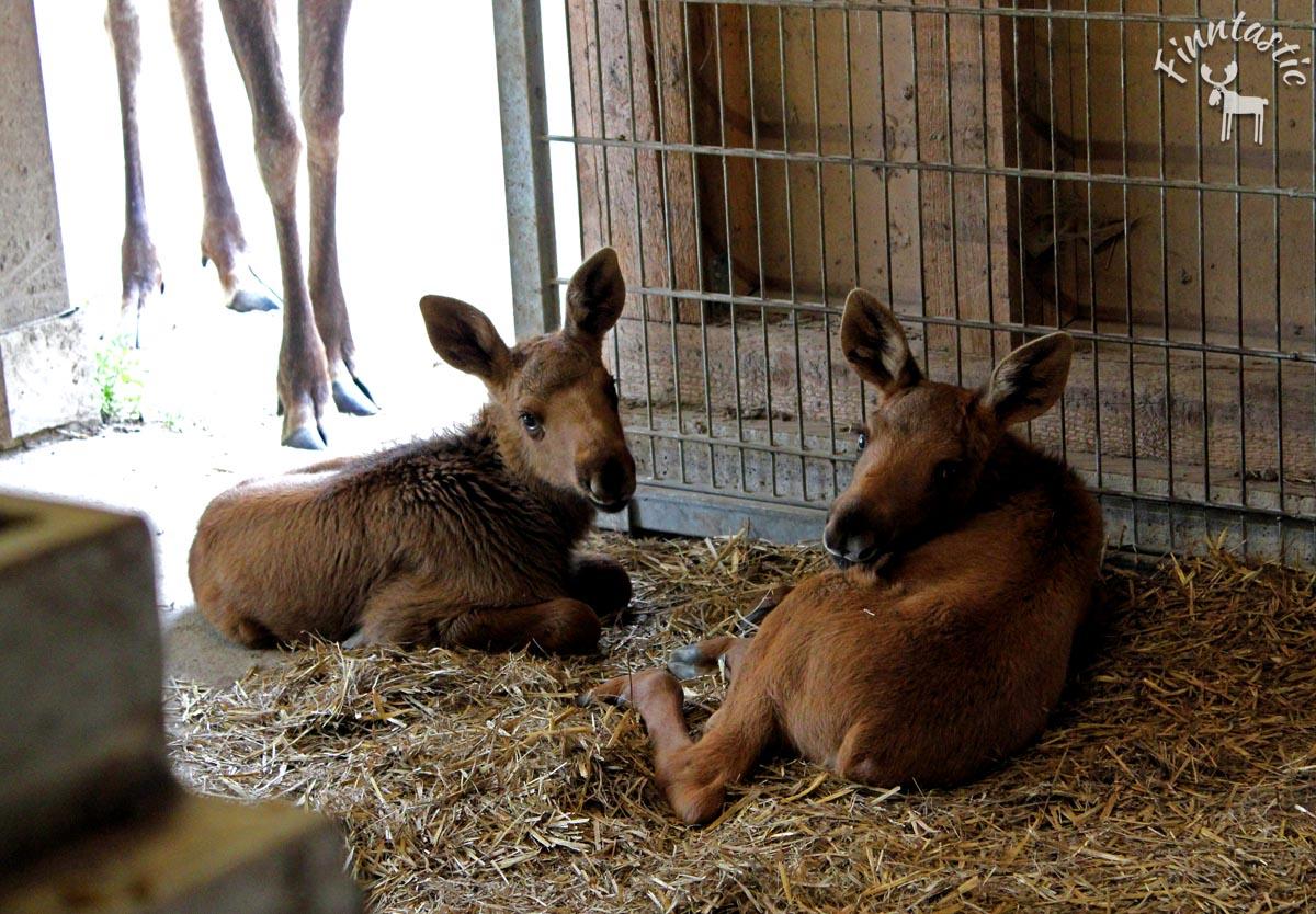 (FOTO: Finntastic) Die Elchkälbchen Ida und Elli sind so süß!