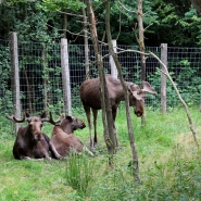 """(FOTO: Finntastic) Elchkuh Mathilda (Mitte) ist derzeit  """"Huhn im Korb"""" auf Zeit. Gemeinsam mit Elchbulle Lasse und Ole döst sie im Dickicht."""