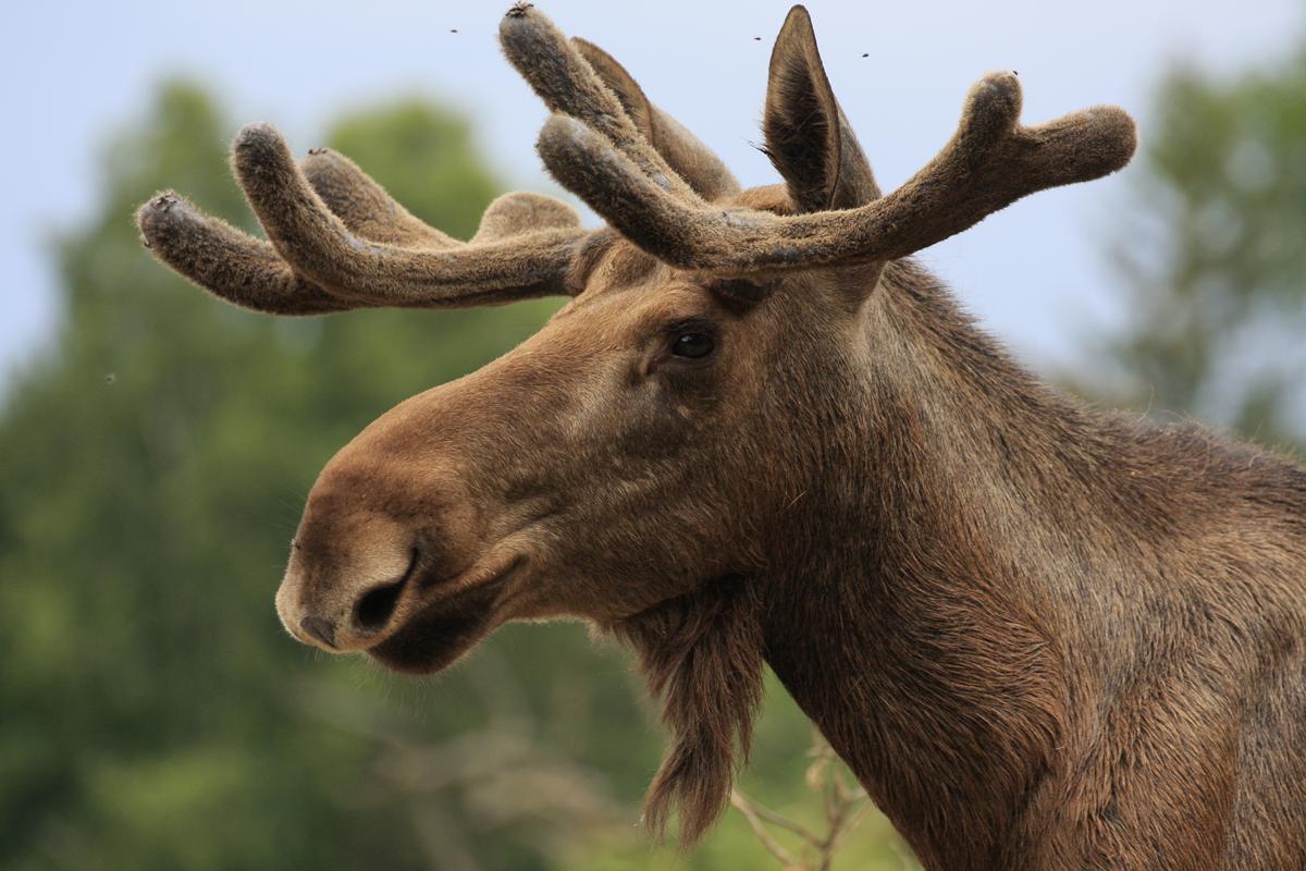 (FOTO: Heike Friedrich) Elch Ole erfreut die Tierparkbesucher mit seiner Anwesenheit.