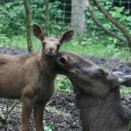 "(FOTO: Sandy Rödde) Elchkuh ""Lotte"" mit ihrem Kälbchen ""Olafine"""