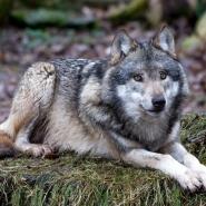(FOTO: Cornelius Turrey) Im Tierpark Sababurg kann man den Wolf hautnah erleben.