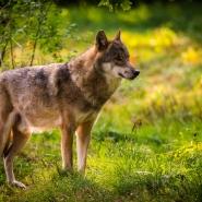 (FOTO: Michael Göhre) Der europäische Wolf fühlt sich auch in Finnischen Wäldern zu Hause.