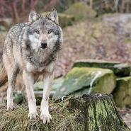 (FOTO: Uwe Spohr) Im Tierpark Sababurg lebt ein Wolfsrudel.