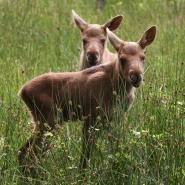 (FOTO: Heike Friedrich) Putziger Nachwuchs im Elchgehege des Tierparks Sababurg