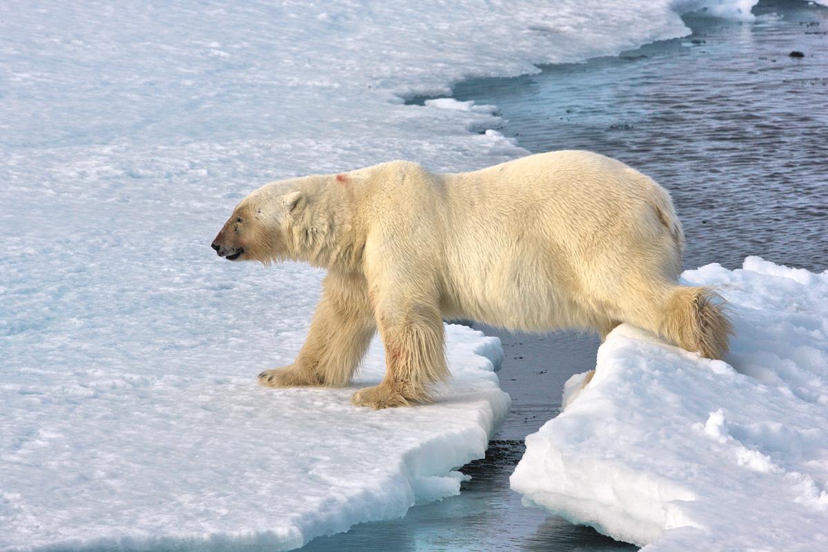 (FOTO: Heiner Kubny) Während der Expedition kann man auch den Eisbären hautnah erleben.