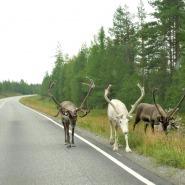 (FOTO: Mikael Diehl) Rentiere auf der Straße - in Lappland ganz normal.