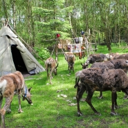 (FOTO: Finntastic) Zum Björkträsk gehört eine Gruppe zahmer Rentiere.