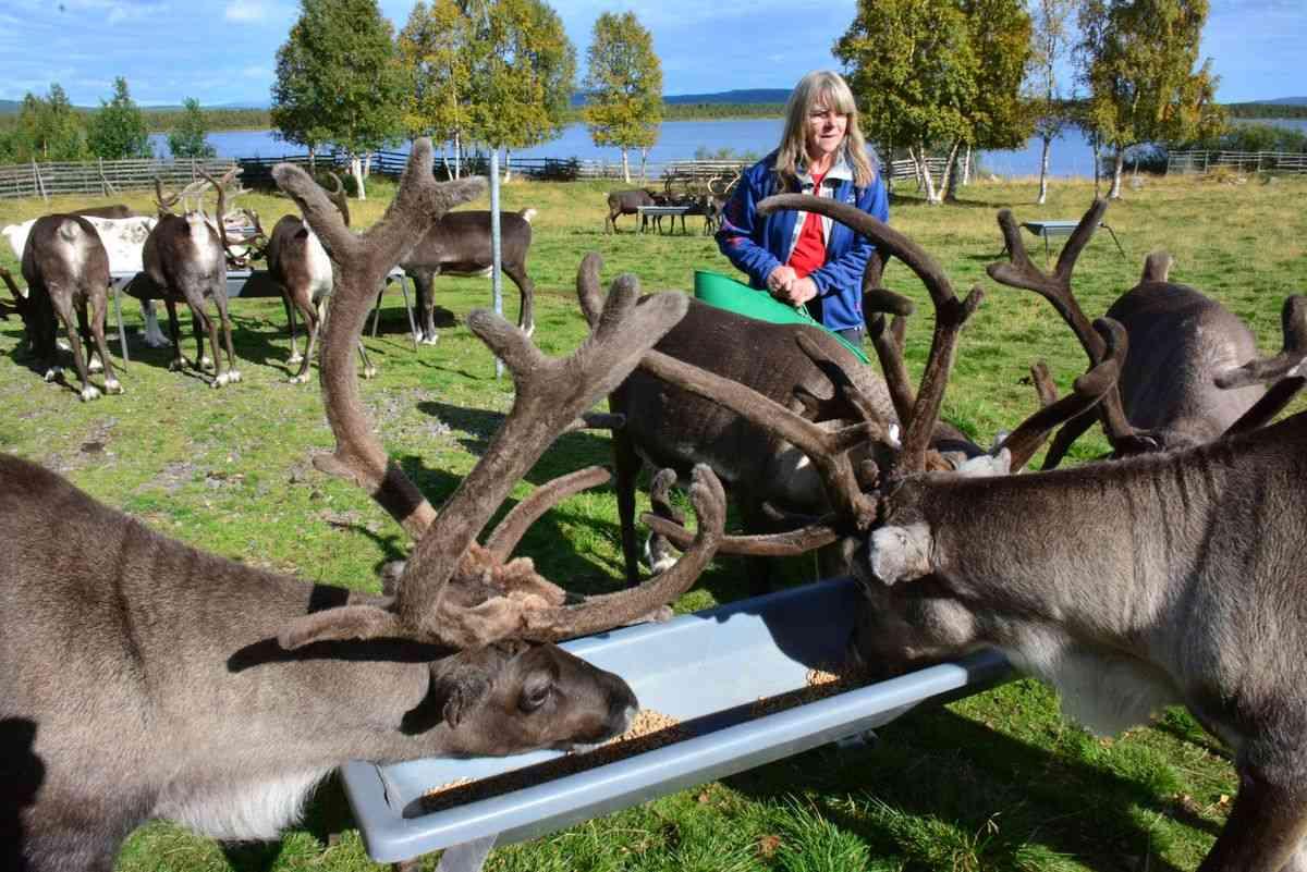 (FOTO: Hans-Joachim Gruda) Liane, Hans-Joachim Grudas Frau füttert die Rentiere.