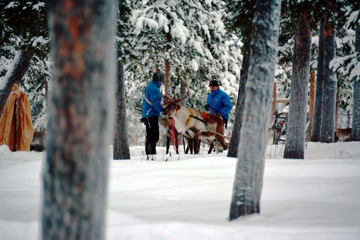 (FOTO: Liane Gruda) Nils Torbjörn Nutti und ein Mitarbeiter bereiten die Rentiere für die Rentiersafari vor.