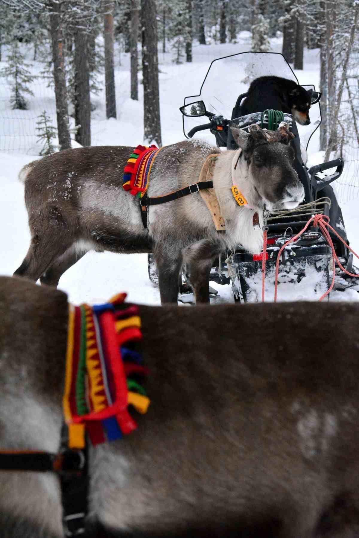 (FOTO: Liane Gruda) Die Rentiere sind schon ganz aufgeregt und freuen sich auf die bevorstehende Tour durch den Schnee.