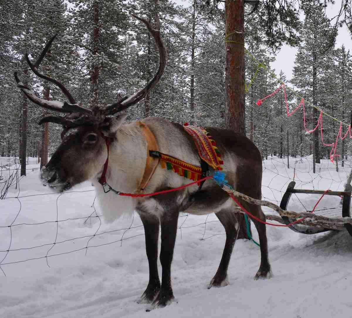 (FOTO: Liane Gruda) Auf dem Schlitten geht es mit den Rentiere durch die verschneite Landschaft Schwedisch-Lapplands.