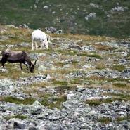 (FOTO: Mikael Diehl) Auf ihrem Weg zum Gipfel trafen Mika und seine Frau nicht nur auf andere Wanderer, sondern immer wieder auch auf grasende Rentiere.