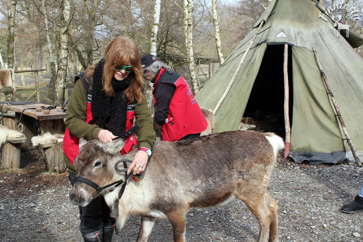 (FOTO: Finntastic) Brigitte macht Nuppa, das geweihlose Rentier startklar für die Tour durch den Tierpark.