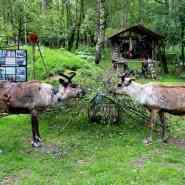 (FOTO: Finntastic) Neben der Rentierflechte stehen die Rentiere besonders auch auf saftige Birkenzweige.