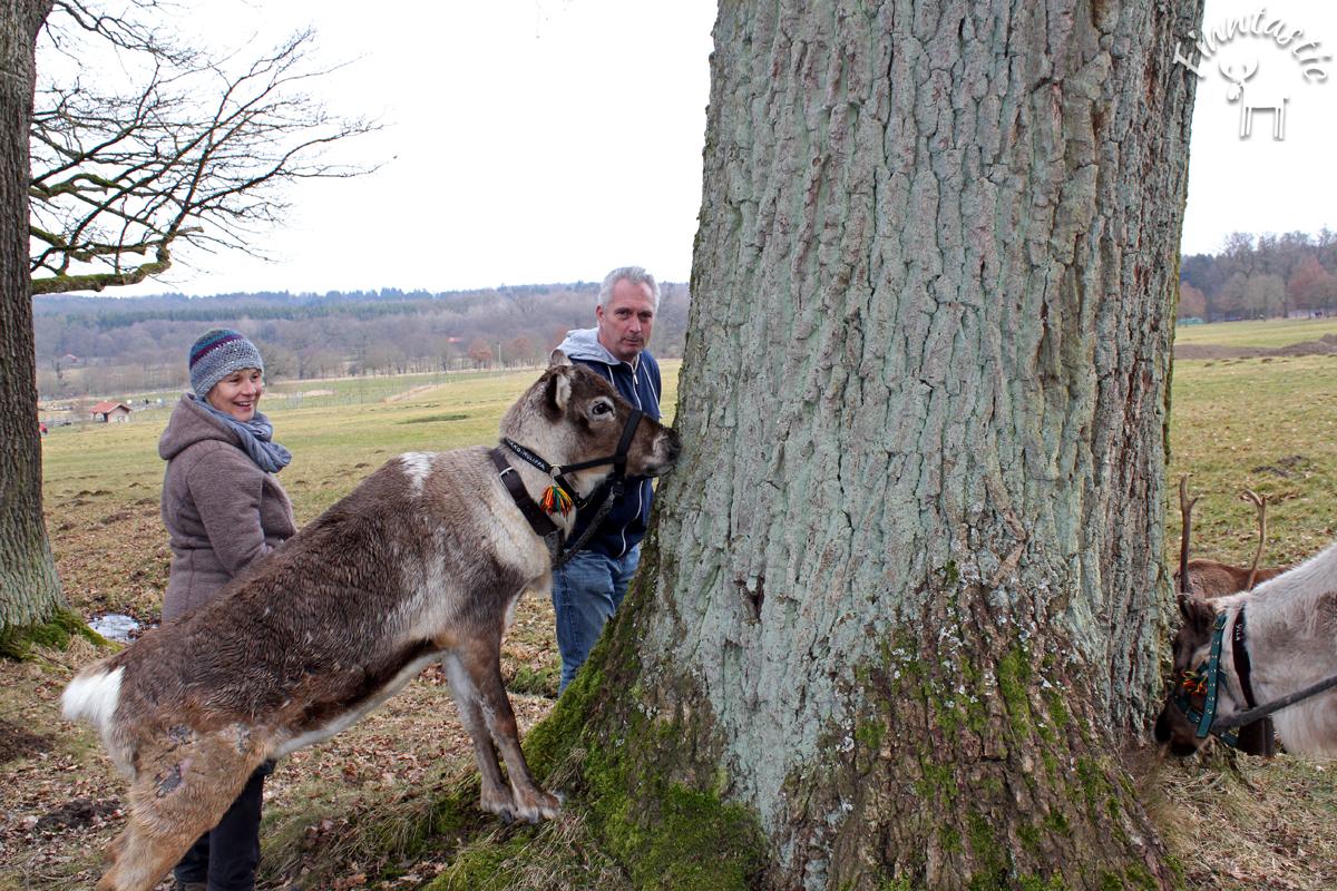 (FOTO: Finntastic) Vor den flinken Rentierschnauzen sind weder Moos noch zarte Pflänzchen sicher.