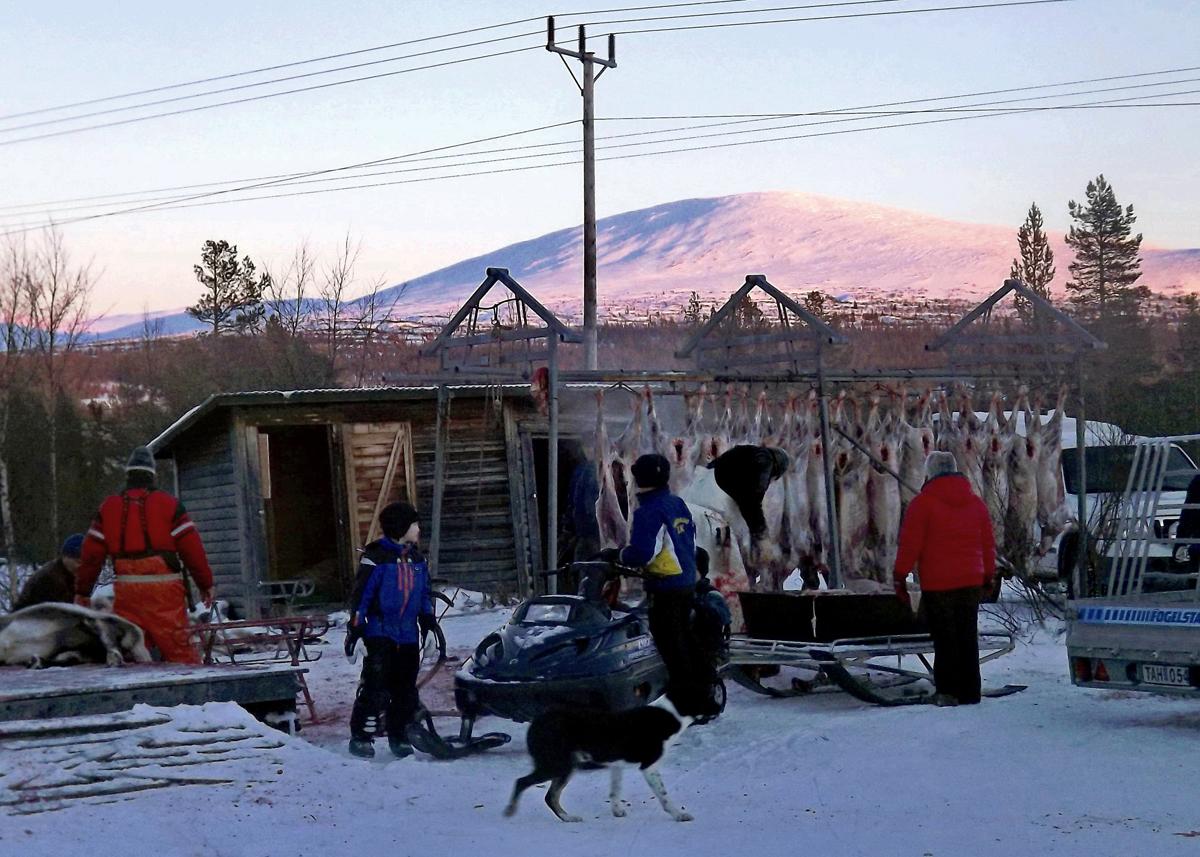 (FOTO: RENRAJD vualka) Die Sámi mit den geschlachteten Rentierkadavern.