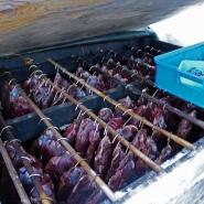 (FOTO: RENRAJD vualka) Das Rentierfleisch dient den Sámi als Grundnahrungsmittel.