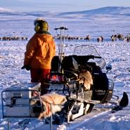 (FOTO: RENRAJD vualka) Die Sámi folgen der Herde mit ihren Motorschlitten.