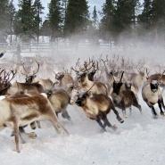 (FOTO: RENRAJD vualka) Einmal im Jahr wird die Herde eingefangen, um sie zu zählen und Tiere für die Schlachtung auszusuchen.