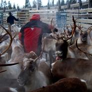 (FOTO: RENRAJD vualka) Bei der alljährigen Zählung wird die Herde gezählt und geschaut, wieviele Kälbchen dazu gekommen sind und wem sie gehören.