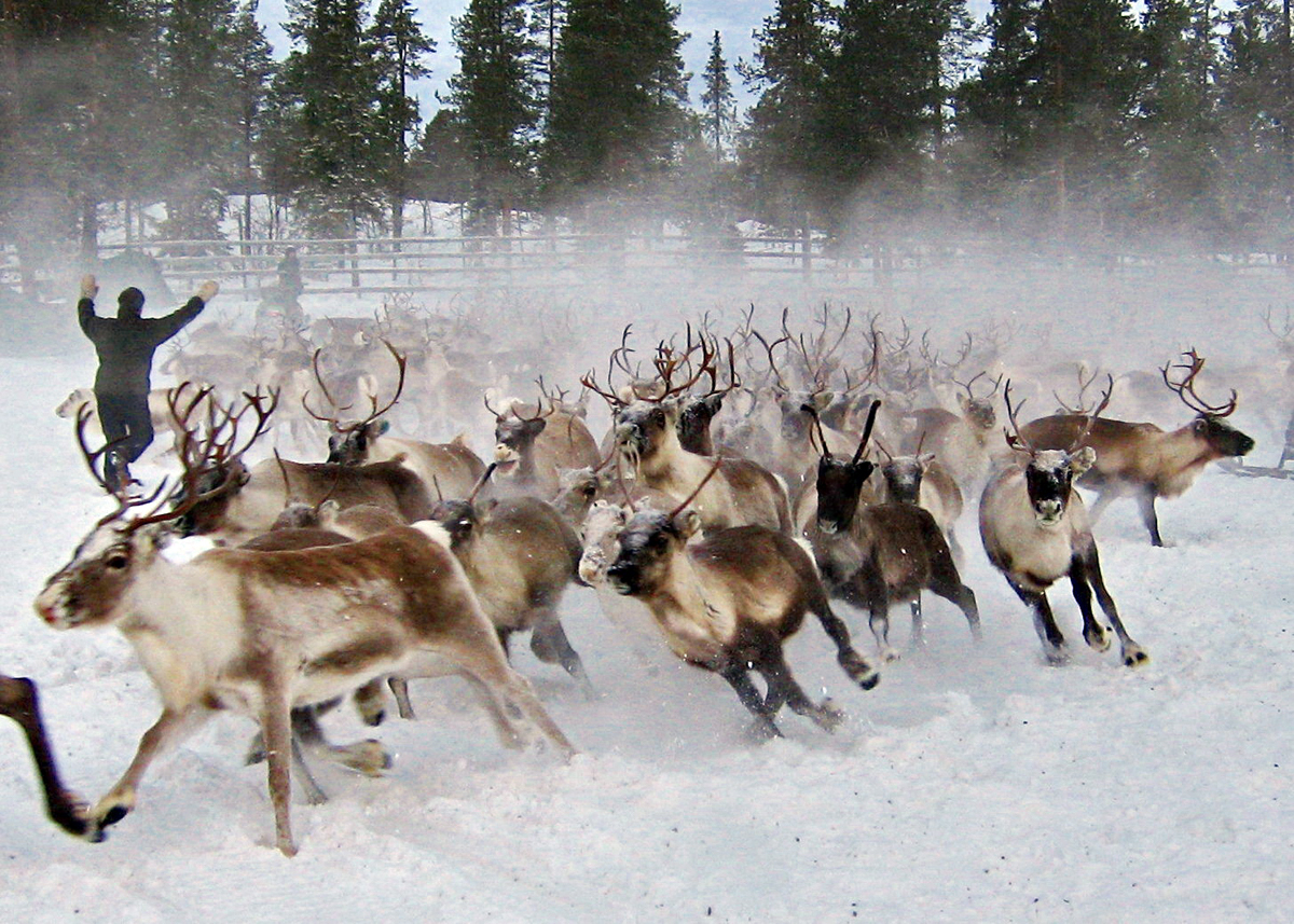 (FOTO: RENRAJDvualka) Die freilebende Rentierherde von Uwes Familie in Sápmi.
