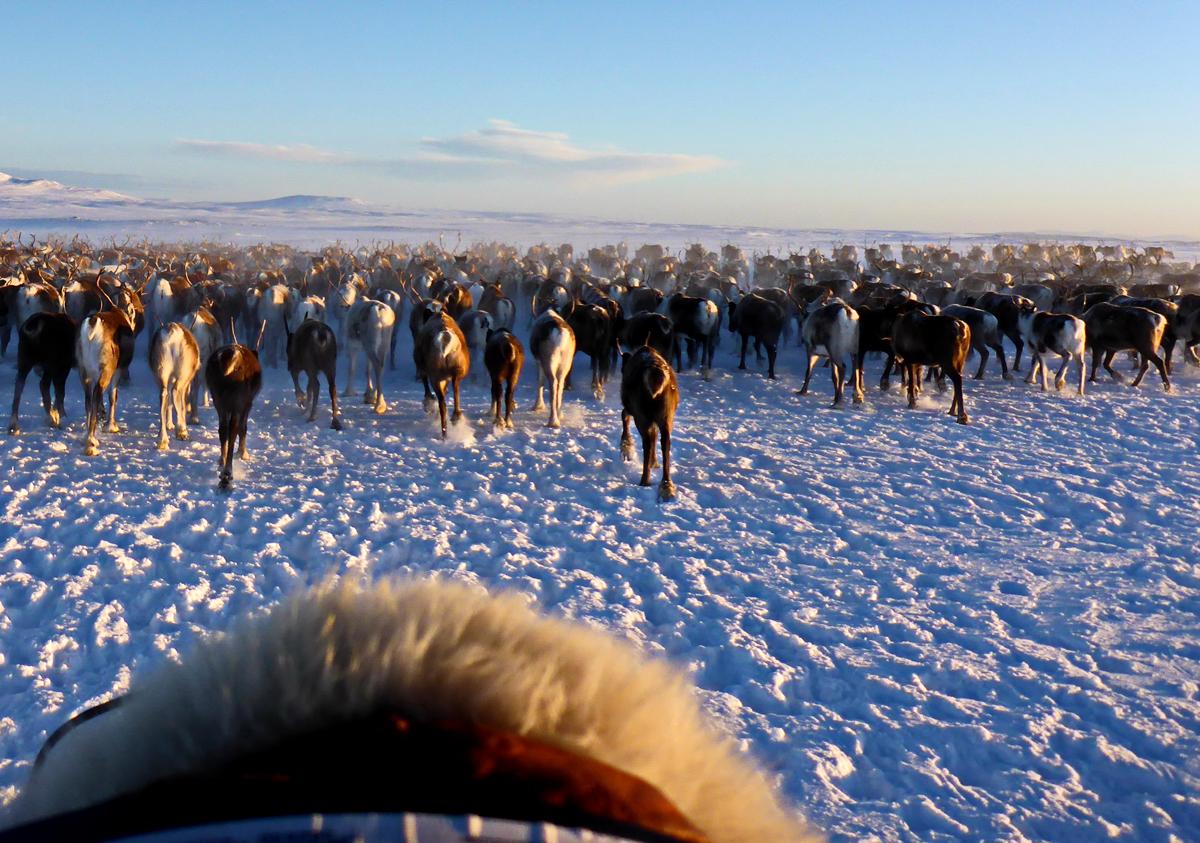 (FOTO: Finntastic) Heute ziehen die Samen mit ihren Rentieren auf den jährlichen Zugrouten.