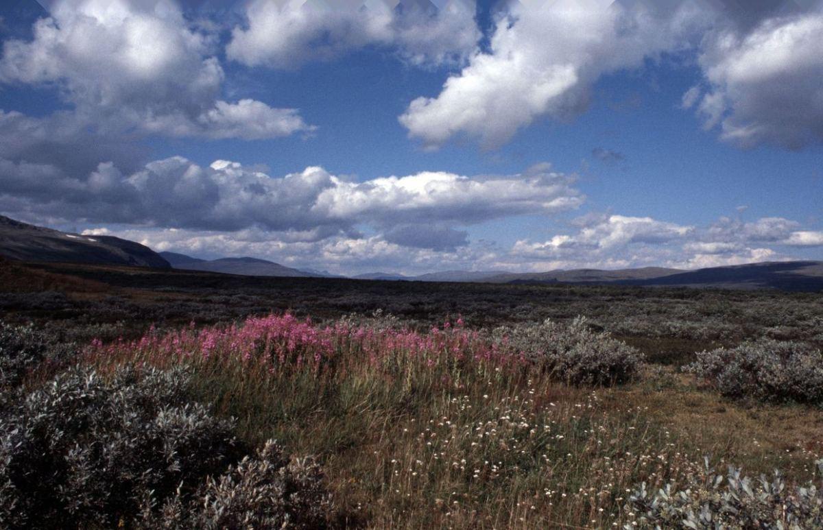 (FOTO: Liane Gruda) 1.    Herbst in Sápmi! Auf der Hochebene Ultevis-hede, Sirges Sameby, Schwedisch Lappland, Sápmi.