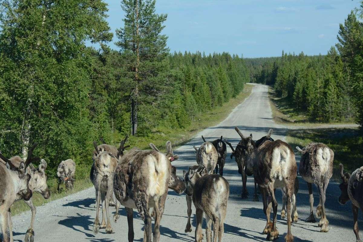 (FOTO: Liane Gruda) Rentiere kreuzen eine Straße: Die Rentierherden in Sápmi leben halbwild. Sie ziehen jedes Jahr von den Sommer- zu den Winterweiden und wieder zurück.