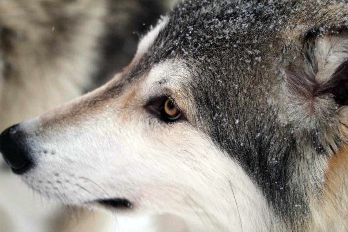 (FOTO: Claudia Alini) Die Wolfshunde haben im Vergleich zu Huskys eine noch stärkere Ausdauer beim Rennen.