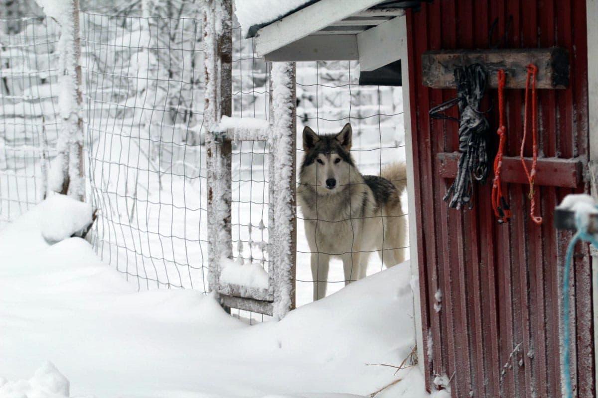 (FOTO: Claudia Alini) Die Wolfshunde sind wie ihre Verwandten die Wölfe sehr scheu.
