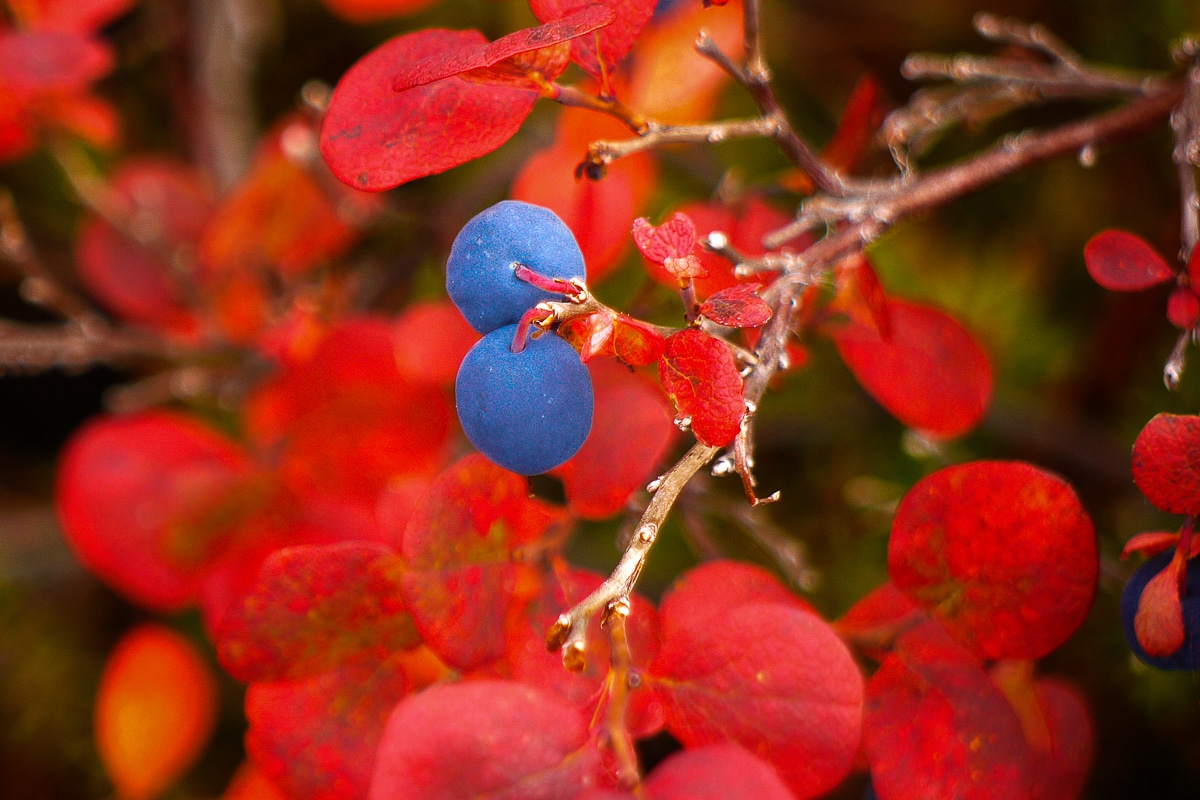 Beerensträucher in Alaska