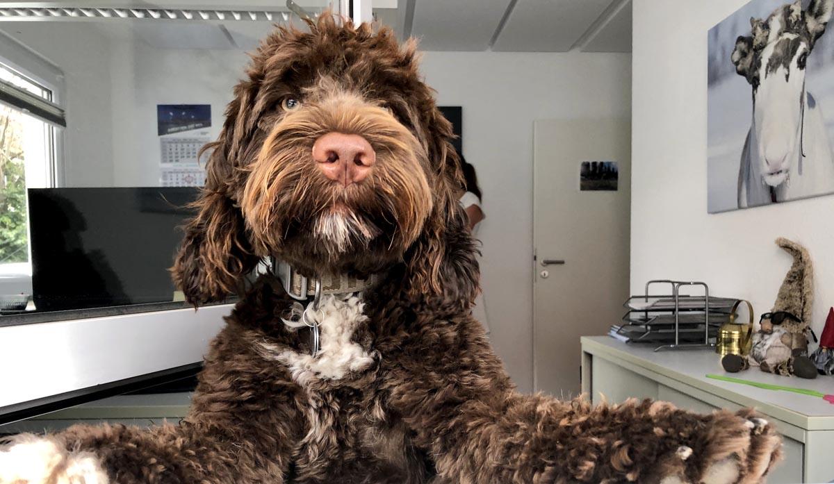fintouring Bürohund Ilano