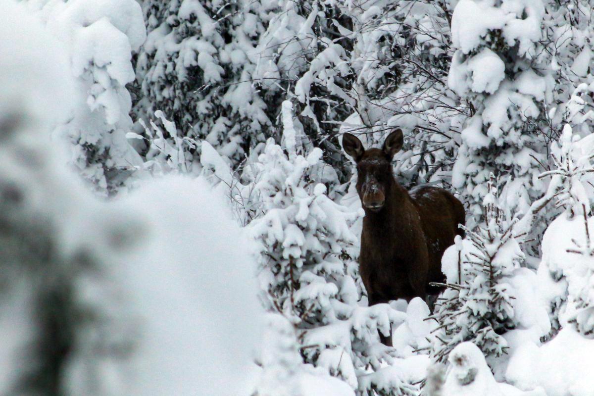 Elch in Lappland