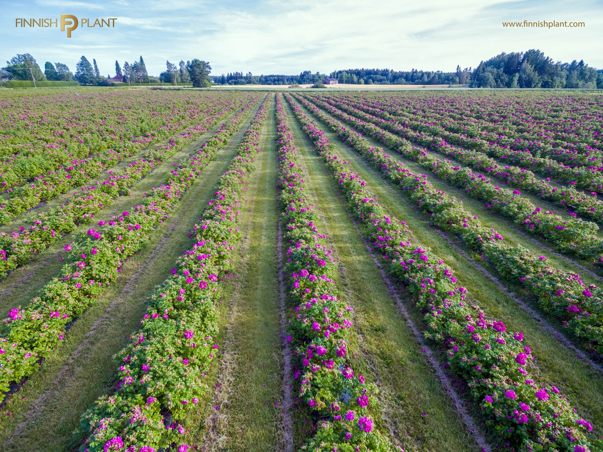 wild rose plantation of Finnish Plant