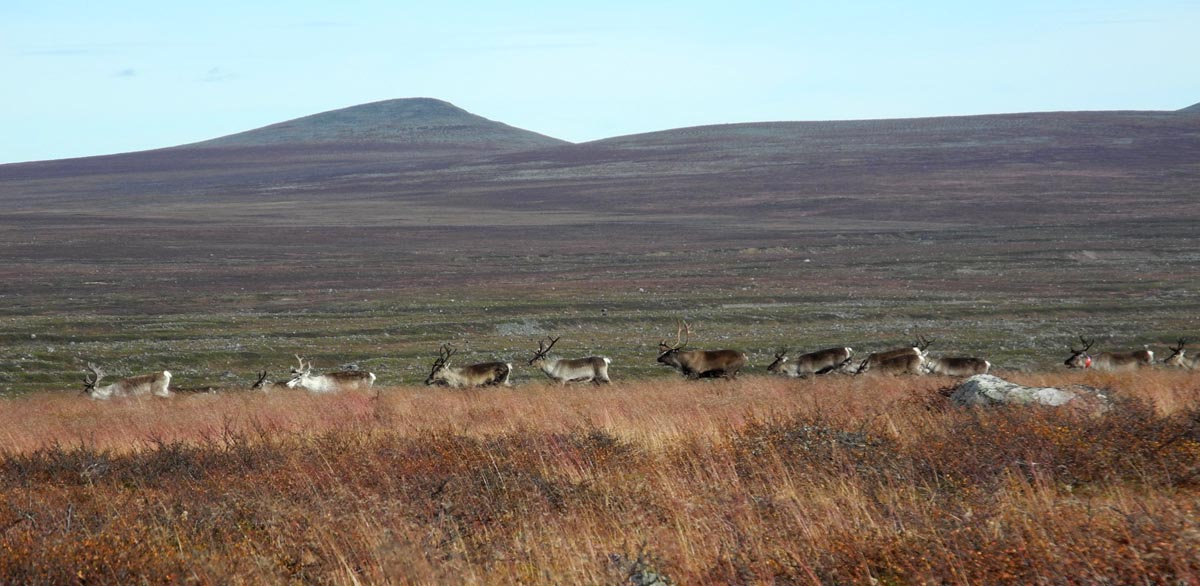 Rentiere in den Bergen Schwedisch-Lapplands