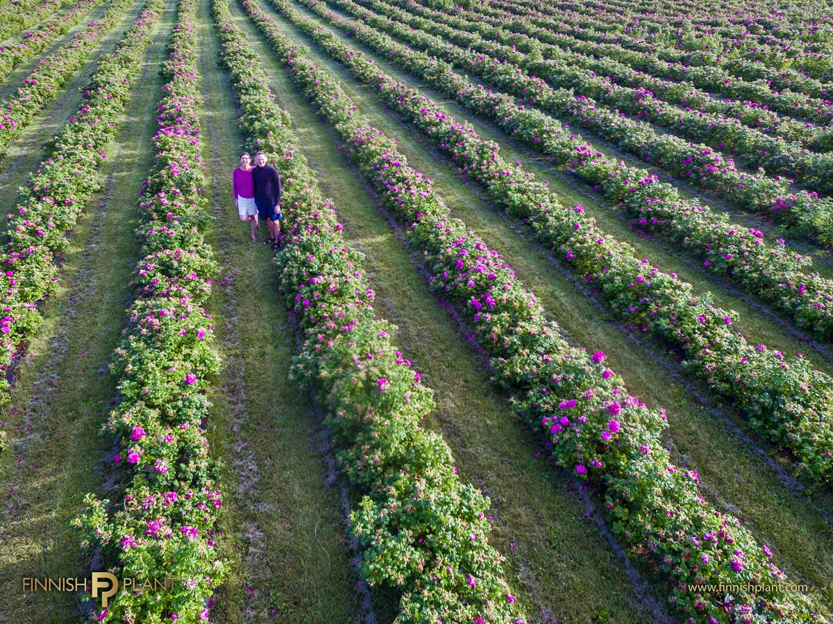 rose plantation of Kotaja farm