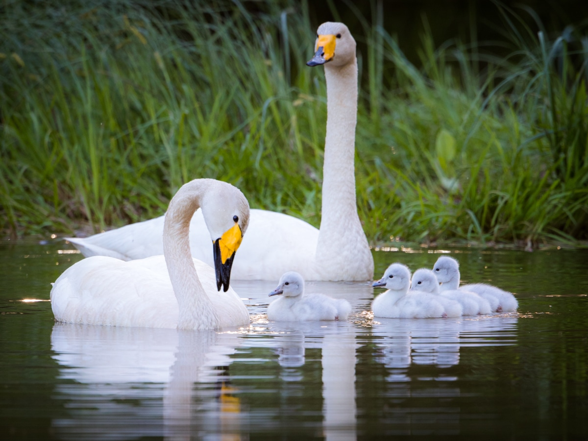 Swan family Ifolor summer photo competition winner